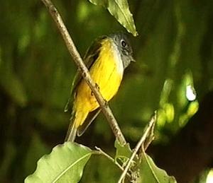 Grey-headed flycatcher