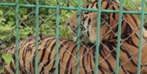 China-Town-Laos-caged-tiger