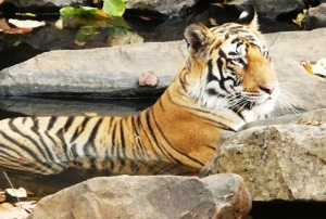 Tiger cub (Representative photo by Additional Principal Chief Conservator of Forest-Wildlife Suhas Kumar)