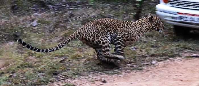 Lepard Caputure
