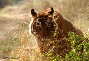 T24 (Ustad).  Magnificent specimen. photographed by  Bobbie Jamwal last year.