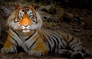Ustad-the tiger