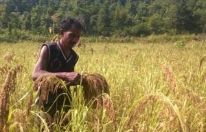Harvesting Kueri (small millet), Desughati. Pic: Subrat Kumar Nayak