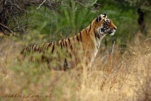 magnificiet tiger