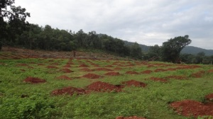 Mango plantation and Madhikhol