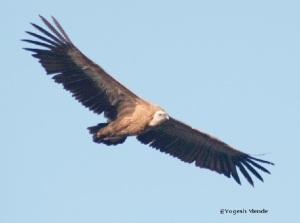 Panna vulture