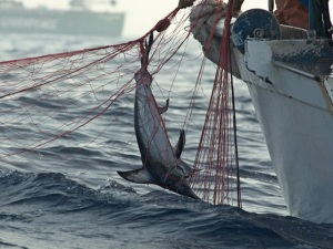 Illegal fishing-representative photo, courtesy seafoodwatch,org