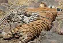 Panna tigress T5 is dead