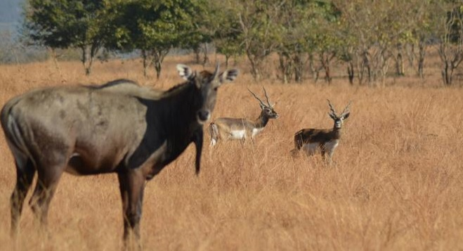 blue bull-black buck