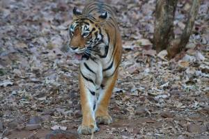 Tiger territory under attack