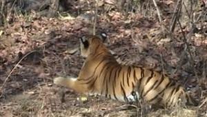 tiger-pench-tiger-reserve