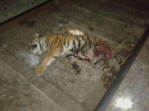 Tiger body found on railway track