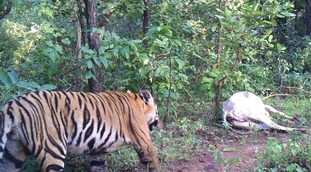 Kerwa male tiger - Photo courtesy L Krishnamoorthy